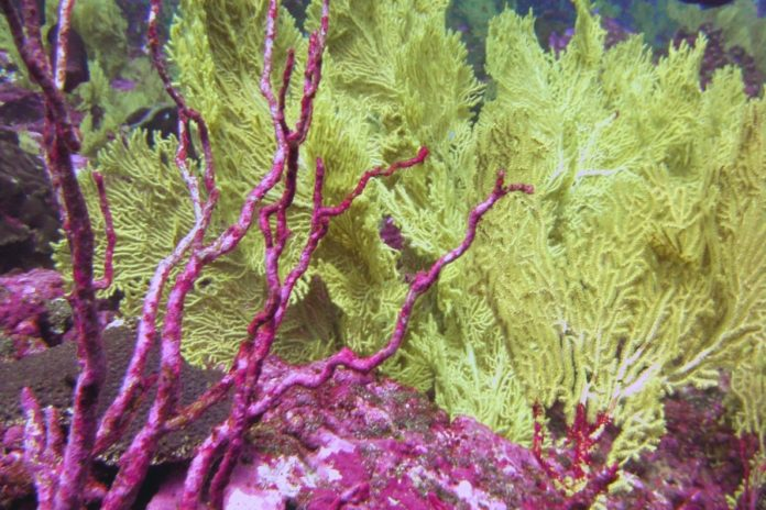 bleached coral (pink with white spots and dull yellow) under the sea